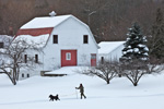 Woman Skijoring with Dogs in Front of Big White Barn with Red Trim in Winter, Orange, MA