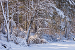 Snow-covered Forest and Wetlands at Big Bearhole Pond, Massasoit State Park. Taunton, MA