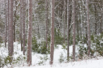 Red and White Pine Forest after Heavy Snowfall, Quabbin Park, Quabbin Reservation, Ware, MA