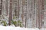 White and Red Pine Forest in Quabbin Park after Snowstorm, Quabbin Reservation, Ware, MA