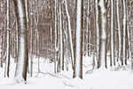 Hardwood Forest in Quabbin Park after Snowstorm, Quabbin Reservation, Ware, MA