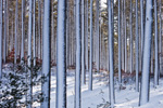 White Pine Tree Trunks at Myles Standish State Forest after Snowstorm, Carver, MA