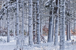 White Pine Forest at Myles Standish State Forest after Snowstorm, Carver, MA