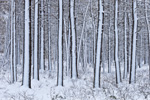 White Pine Tree Trunks at Myles Standish State Forest after Snowstorm, Plymouth, MA