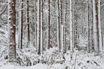 White Pine Forest after Snowstorm, Plymouth, MA