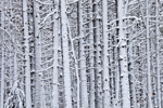 Close-up of White Pine Tree Trunks after Snowstorm, Plymouth, MA