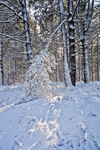Light Shining through White Pine Forest at Myles Standish State Forest after Snowstorm, Plymouth, MA