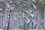 White Pine Forest at Myles Standish State Forest after Snowstorm, Plymouth, MA