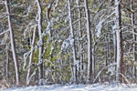 Pitch Pine Forest at Myles Standish State Forest after Snowstorm, Plymouth, MA