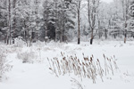 Wetlands and Bordering Forest during Snowstorm along Norcross Hill Brook, Templeton, MA