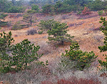 Open Forest Lands in Pilgrim Heights, Cape Cod National Seashore, Truro, MA