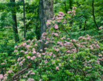 Mountain Laurel along Limberlost Trail, Shenandoah National Park, VA