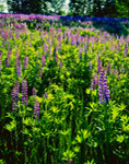 Backlit Lupines (Lupinus perennis), White Mountains, Sugar Hill, NH
