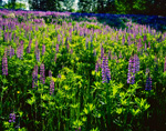 Backlit Lupines (Lupinus perennis), White Mountains, Sugar Hill, NH