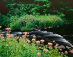 Joe-Pye Weed in Bloom along Ashuelot River, Gilsum, NH