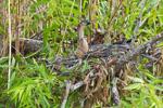Female Anhinga in Nest, Anhinga Trail, Royal Palm Area, Everglades National Park, FL