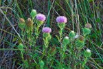 Close-up of Thistles, Everglades National Park, FL