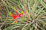 Cardinal Airplant on Anhinga Trail, Royal Palm Area, Everglades National Park, FL