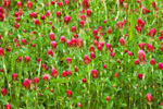 Close-up View of Crimson Clover in Bloom in Early Spring, Seminole County, GA