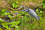 Great Blue Heron in Spadderdock on Anhinga Trail, Royal Palm Area, Everglades National Park, FL