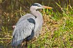 Great Blue Heron after Bathing, Anhinga Trail, Royal Palm, Everglades National Park, FL