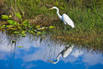 Great Egret with Reflection in Wetlands along Anhinga Trail, Royal Palm Area, Everglades National Park, FL