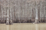 Bald Cypress Trees with High Water Marks along Backwaters of Cache River and Jackson Bayou, Cache River National Wildlife Refuge, Prairie County, AR
