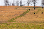 Grass Trail through Pastures with Grazing Cattle in the Ozark Mountains, Searcy County, AR
