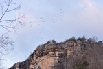 Kettle of Turkey Vultures Circling over Bluffs on Buffalo National River at Kyles Landing, Ozark Mountains, Newton County, AR