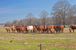 Cattle Grazing in Pasture, El Paso, White County, AR