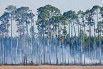 Smoke from Wild Fires thorugh Pine Trees in Ocala National Forest, Lake Delancy Area, Putnam County; FL