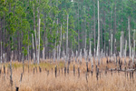Wetlands and Forest Edge in Ocala National Forest, Lake County, FL