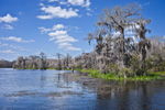 Bald Cypress Trees with Spanish Moss along Wakulla River, Wakulla Springs State Park, National Register of Historic Places, Wakulla Springs, FL