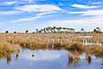 Marsh and Distant Pine Trees, St Marks National Wildlife Refuge, Gulf Coast, Florida Panhandle, Gulf of Mexico, Wakulla County, FL