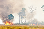 Prescribed Burn, St Marks National Wildlife Refuge, Gulf Coast, Florida Panhandle, Gulf of Mexico, Wakulla County, FL