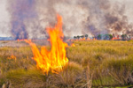 Close-up View of Flames during Prescribed Burn, St Marks National Wildlife Refuge, Gulf Coast, Florida Panhandle, Gulf of Mexico, Wakulla County, FL