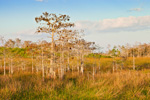 Dwarf Cypress (Pond Cypress) and Wetland Prairie in Pa-hay-okee Area, Everglades National Park, FL