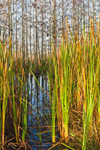 Early Morining Light on Dwarf Cypress and Cattail Marsh near Pa-hay-okee Area, Everglades National Park, FL