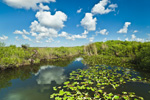 Spatterdocks in Freshwater Marsh on Anhinga Trail in Royal Palm Area, Everglades Natiional Park, FL