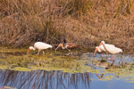 Four White Ibises in Mounds Pool #1, St Marks National Wildlife Refuge, Gulf Coast, Florida Panhandle, Gulf of Mexico, Wakulla County, FL