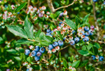 Highbush Blueberry in Inner Dunes at Province Lands, Cape Cod National Seashore, Cape Cod, Provincetown, MA