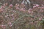 Magnolia Tree in Bud, Groton, CT