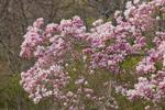 Magnolia Tree in Full Bloom, Groton, CT