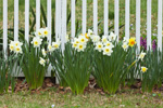 Daffodils in Bloom against White Picket Fence, Groton, CT