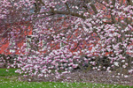 Magnolia Tree in Full Bloom with Red Barn in Background, Woodstock, CT