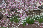 Magnolia Tree in Full Bloom with Daffodils along Stone Wall, Woodstock, CT