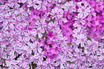 Bicolored Creeping Phlox or Moss Phlox (Phlox subulata ), Royalston, MA
