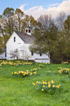 Naturalized Daffodils in Front of White Barn with Cupola in Spring, New Salem Common Historic District, New Salem, MA