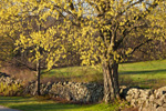 Sugar Maple Tree in Spring Bloom with Stone Wall and Fields in Background, Royalston, MA