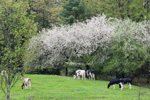 Apple Trees in Bloom with Dairy Cows in Spring, Hunt's Farm, New Salem, MA